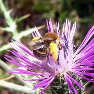 Image of <i>Eucera species</i>