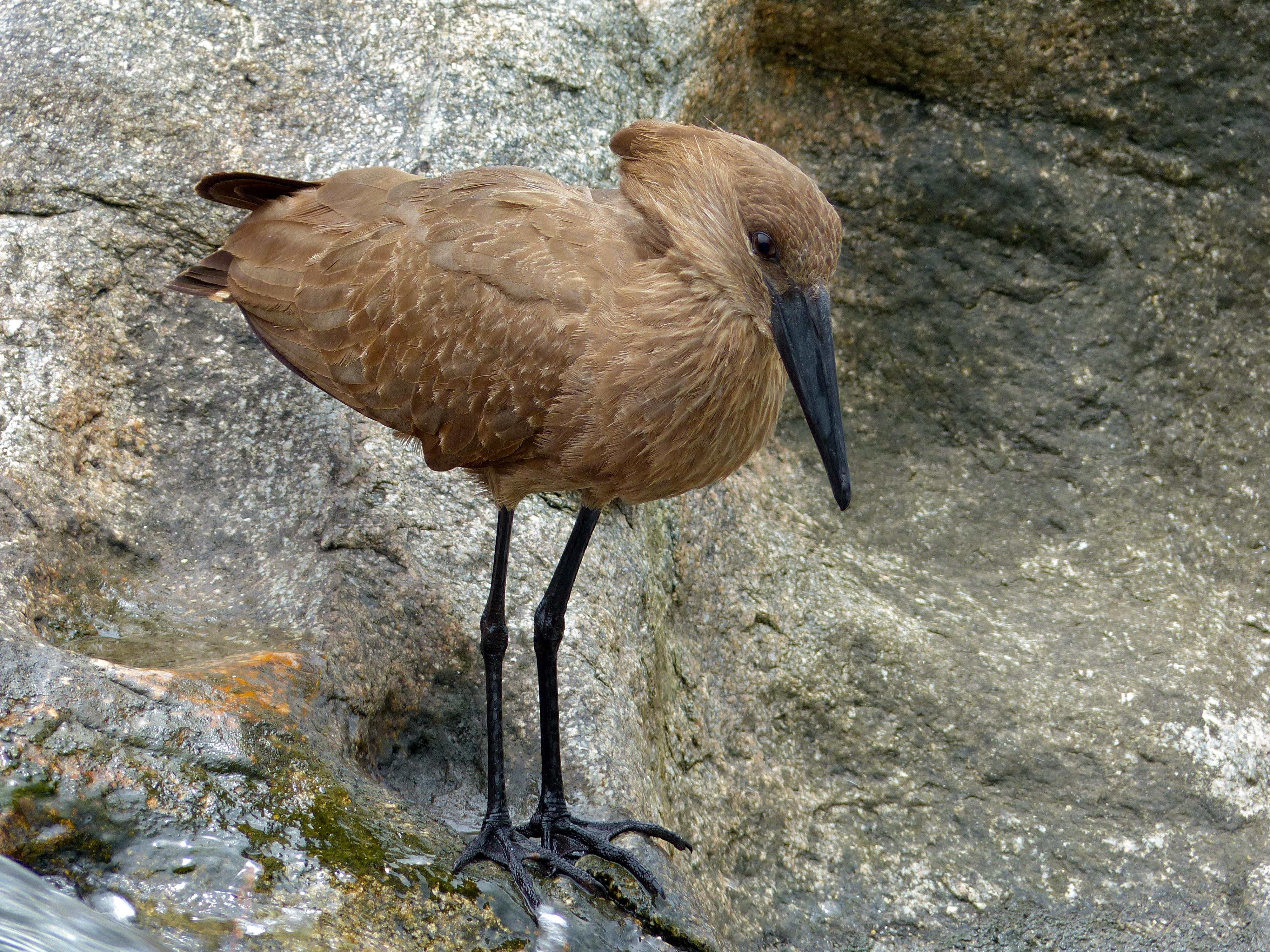 Image of Hamerkop