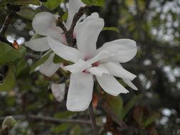 Image of Star Magnolia