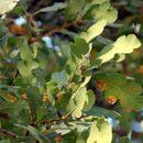 Image of blue oak
