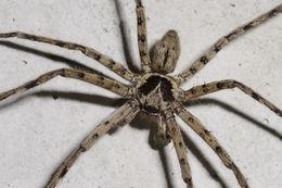 Image of huntsman spider