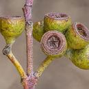 Image of <i>Eucalyptus tenuiramis</i> Miq.
