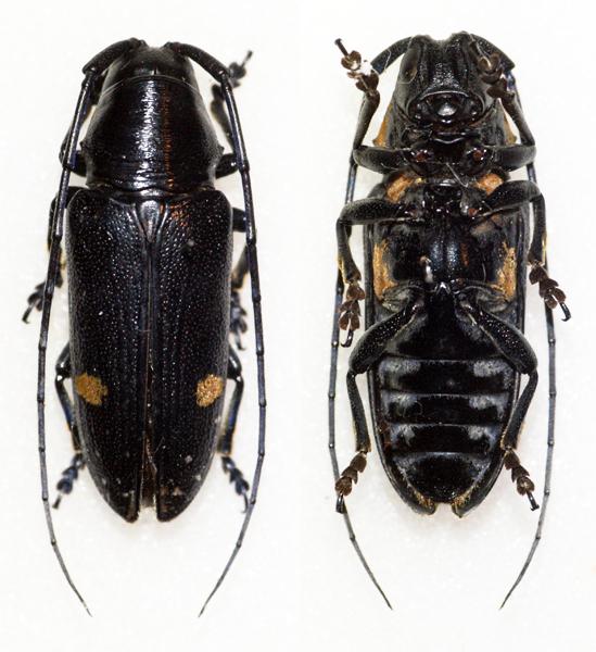 Image of <i>Pinacosterna nachtigali</i> Harold 1879