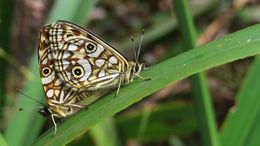 Image of <i>Oreixenica lathoniella</i>