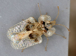 Image of Sycamore Lace Bug
