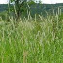 Image of Buffel grass