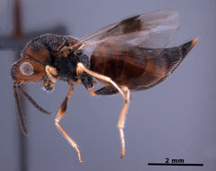 Image of <i>Bephratelloides cubensis</i> (Ashmead 1894)