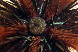 Image of banded sea urchin
