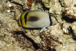 Image of Butterfly fish