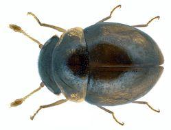 Image of <i>Clambus punctulum</i> (Beck 1817) Beck 1817