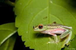 Image of Boulenger's Tree Frog