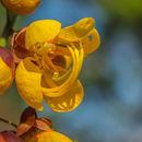 Image of <i>Cassia moschata</i> Kunth