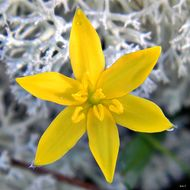 Image of fringed yellow star-grass