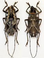Image of <i>Paraepepeotes togatus</i> (Perroud 1855)