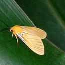 Image of <i>Pachydota nervosa</i>
