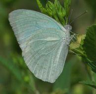 Image of CAtopsilia pyranthe