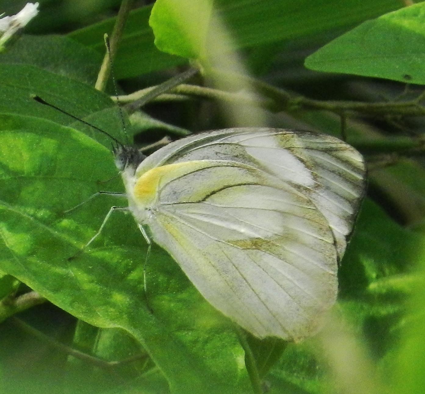 Image of <i>Appias libythea</i> (Fabricius 1775)