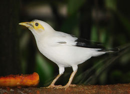 Image of Black-winged Starling