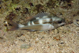Image of Black-and-white monocle bream
