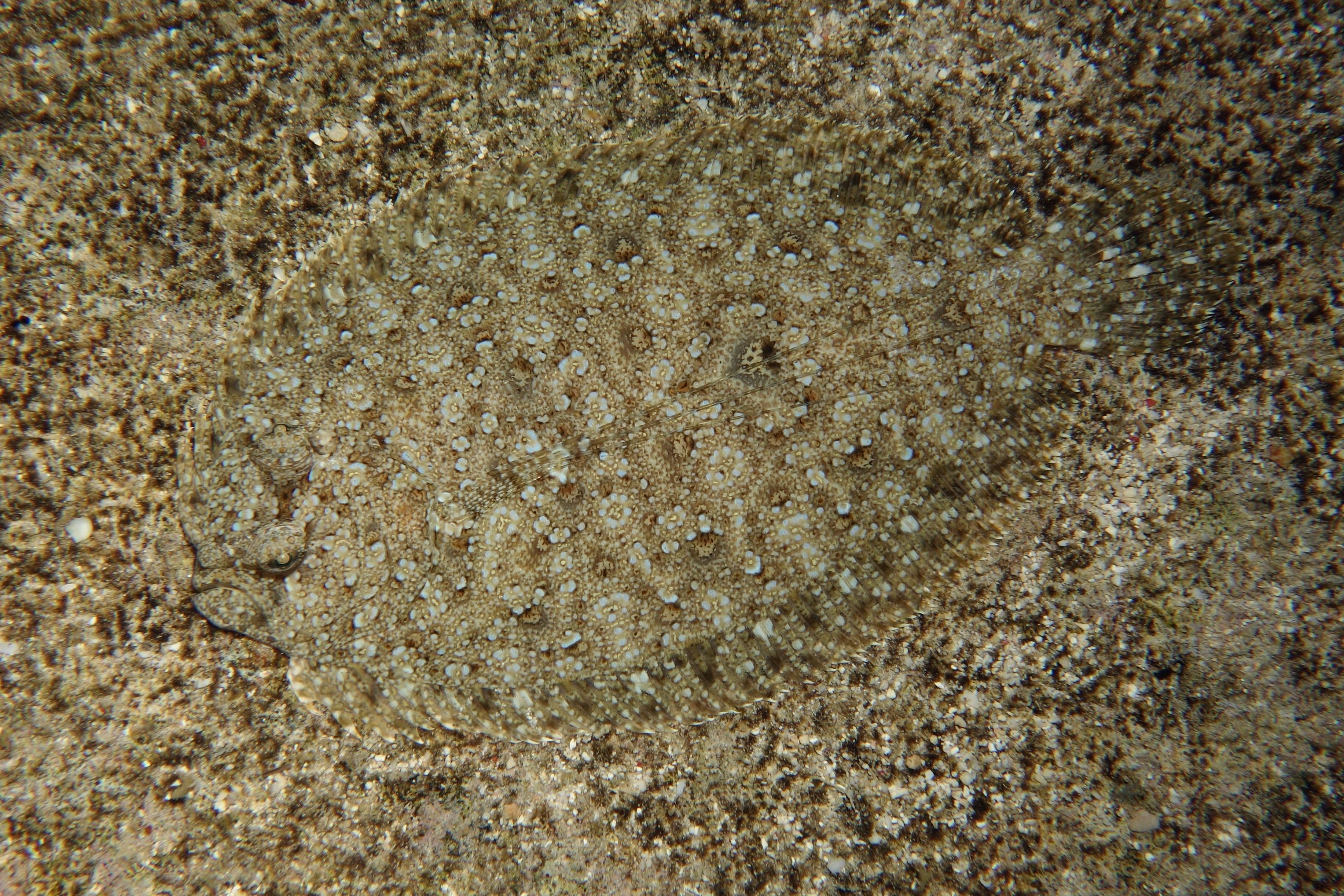 Image of Leopard flounder