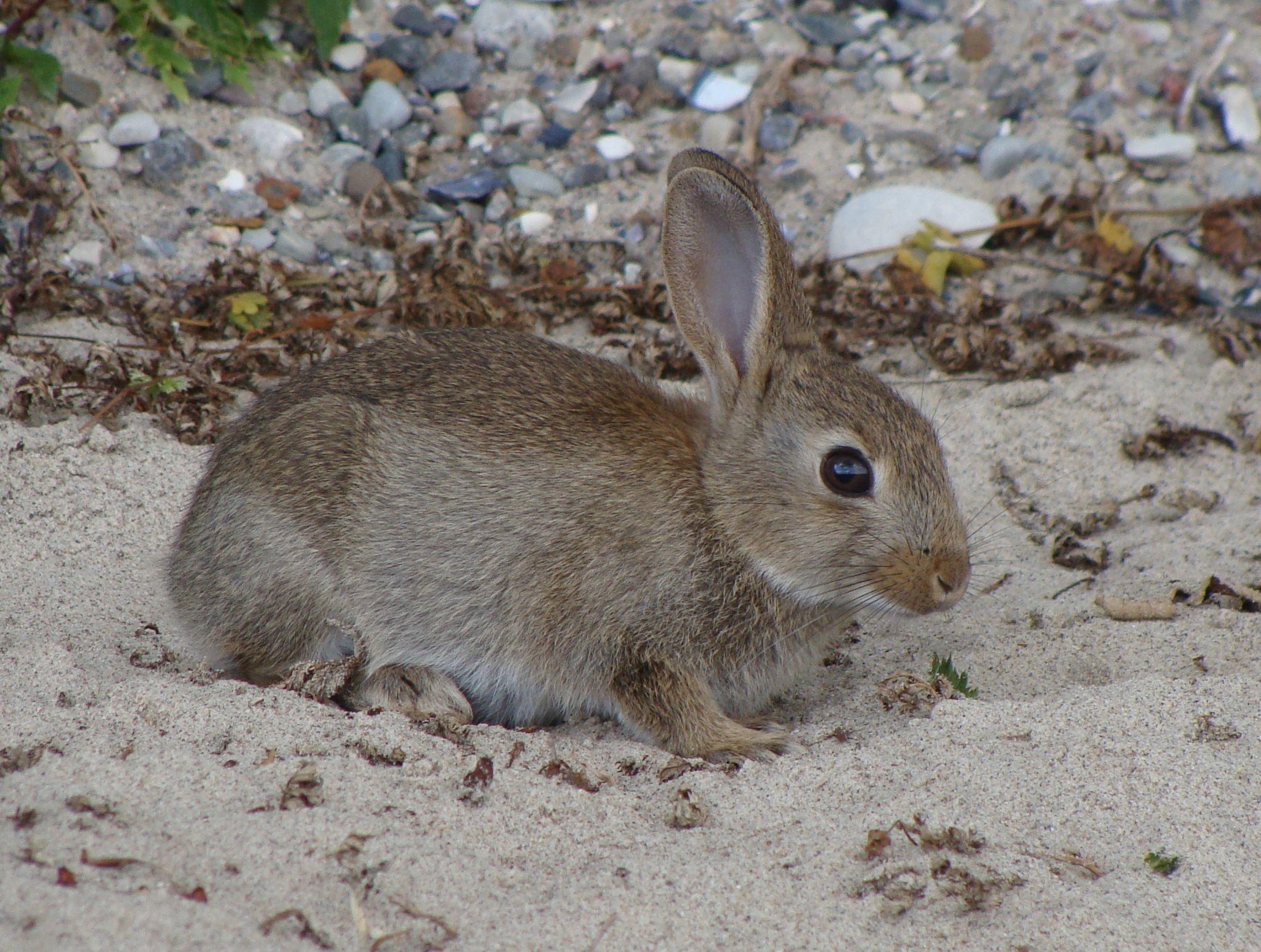 Image of European rabbit