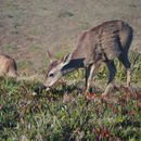 Image of mule deer