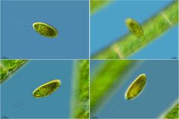 Image of <i>Vacuolaria virescens</i>