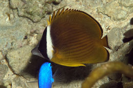 Image of Golden Butterflyfish