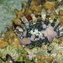 Image of Pterioidea