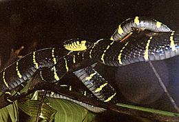 Image of <i>Boiga dendrophila annectens</i> (Boulenger 1896)