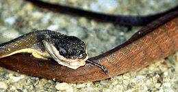 Image of Black-headed Cat Snake