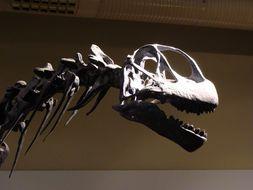 Image of <i>Camarasaurus grandis</i> (Marsh 1877)