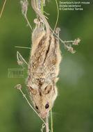 Image of Severtzov's Birch Mouse
