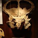 Image of <i>Protoceratops andrewsi</i> Granger & Gregory 1923