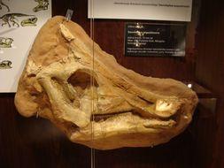 Image of <i>Saurolophus angustirostris</i> Rozhdestvensky 1952
