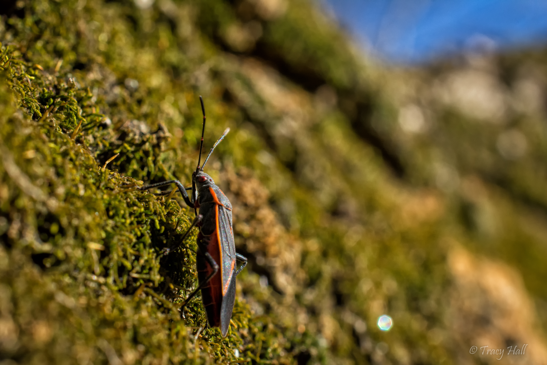 Image of Eastern Boxelder Bug