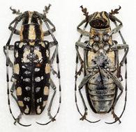 Image of <i>Agnia clara</i> Newman 1842