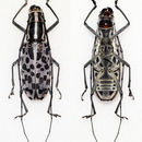 Image of <i>Macrochenus isabellinus</i>