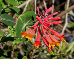 Image of trumpet honeysuckle