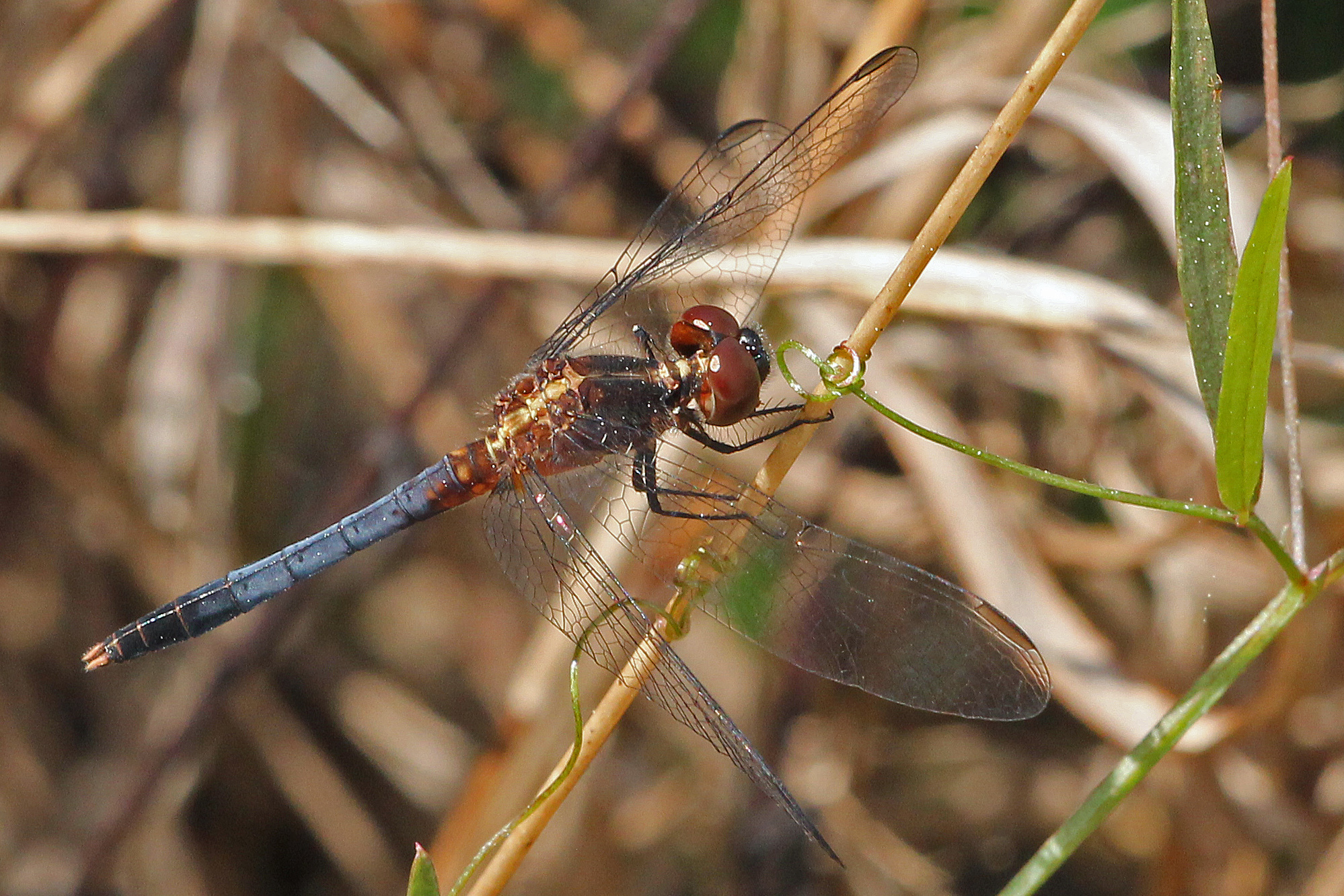 Image of Little Blue Dragonlet
