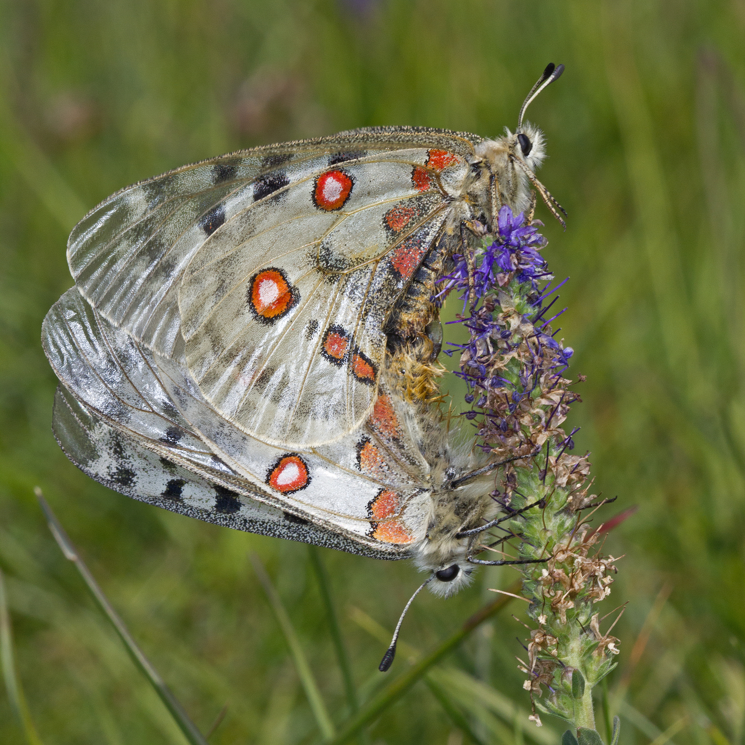 Image of Apollo Butterfly