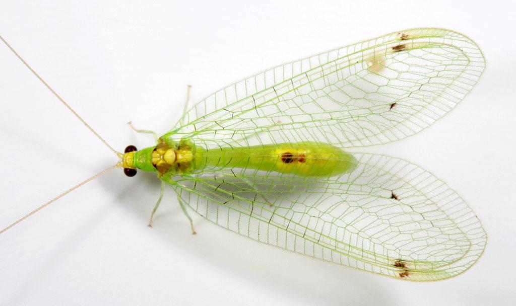 Image of <i><i>Leucochrysa</i></i> (Leucochrysa) <i>insularis</i> (Walker 1853)