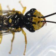 Image of <i>Onycholyda rufofasciata</i>