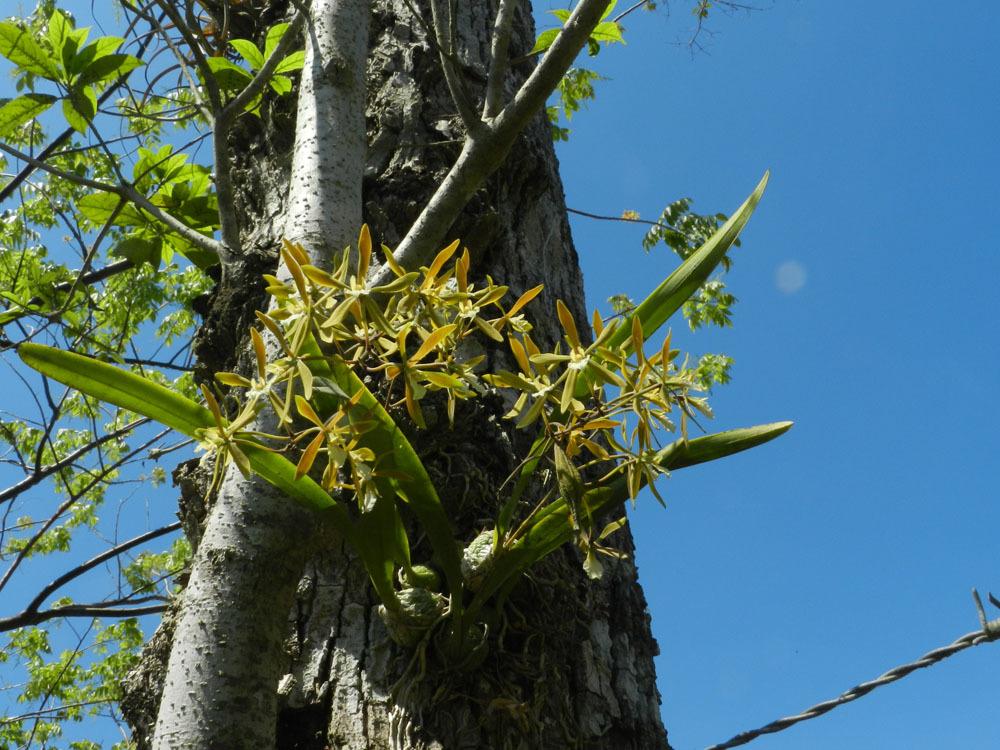 Image of <i>Encyclia stellata</i> (Lindl.) Schltr.