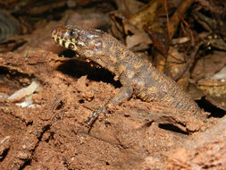 Image of Costa Rican Tropical Night Lizard