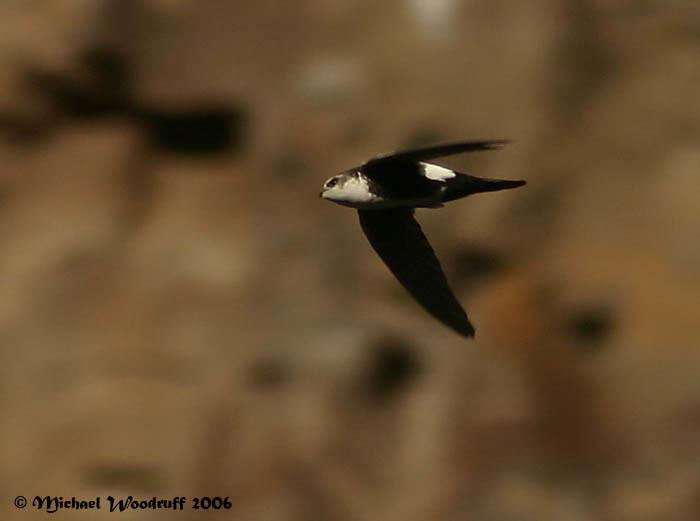 Image of White-throated Swift