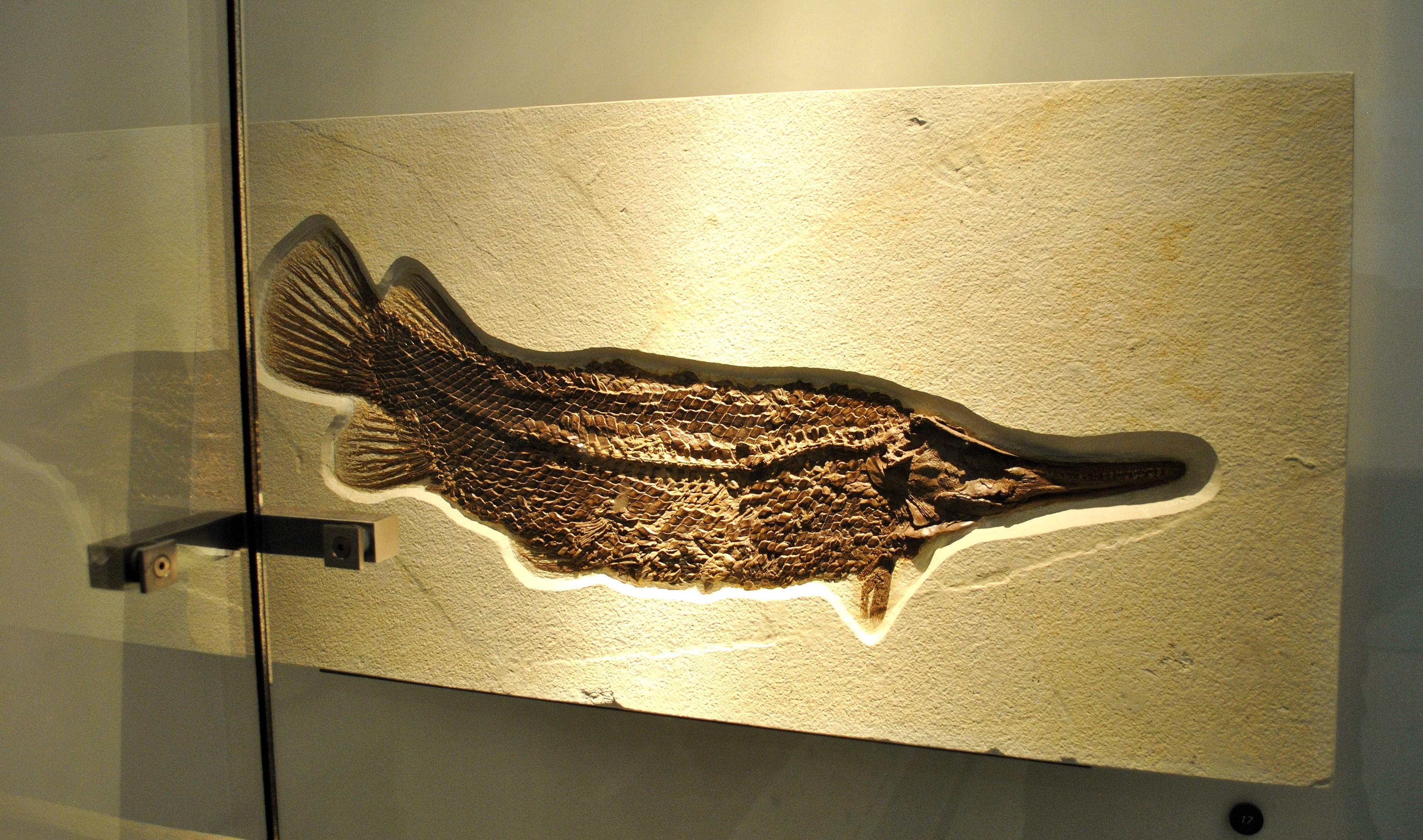 Image of <i>Lepisosteus simplex</i> Leidy 1873