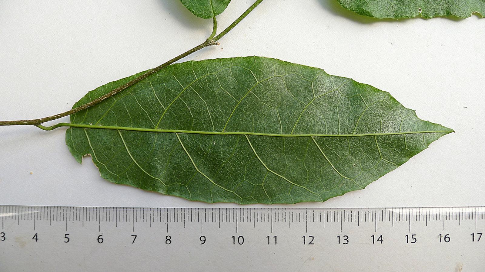 Image of <i>Pleurisanthes parviflora</i> (Ducke) Howard