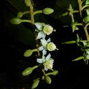 Sivun <i>Marila pluricostata</i> Standl. & L. O. Williams kuva