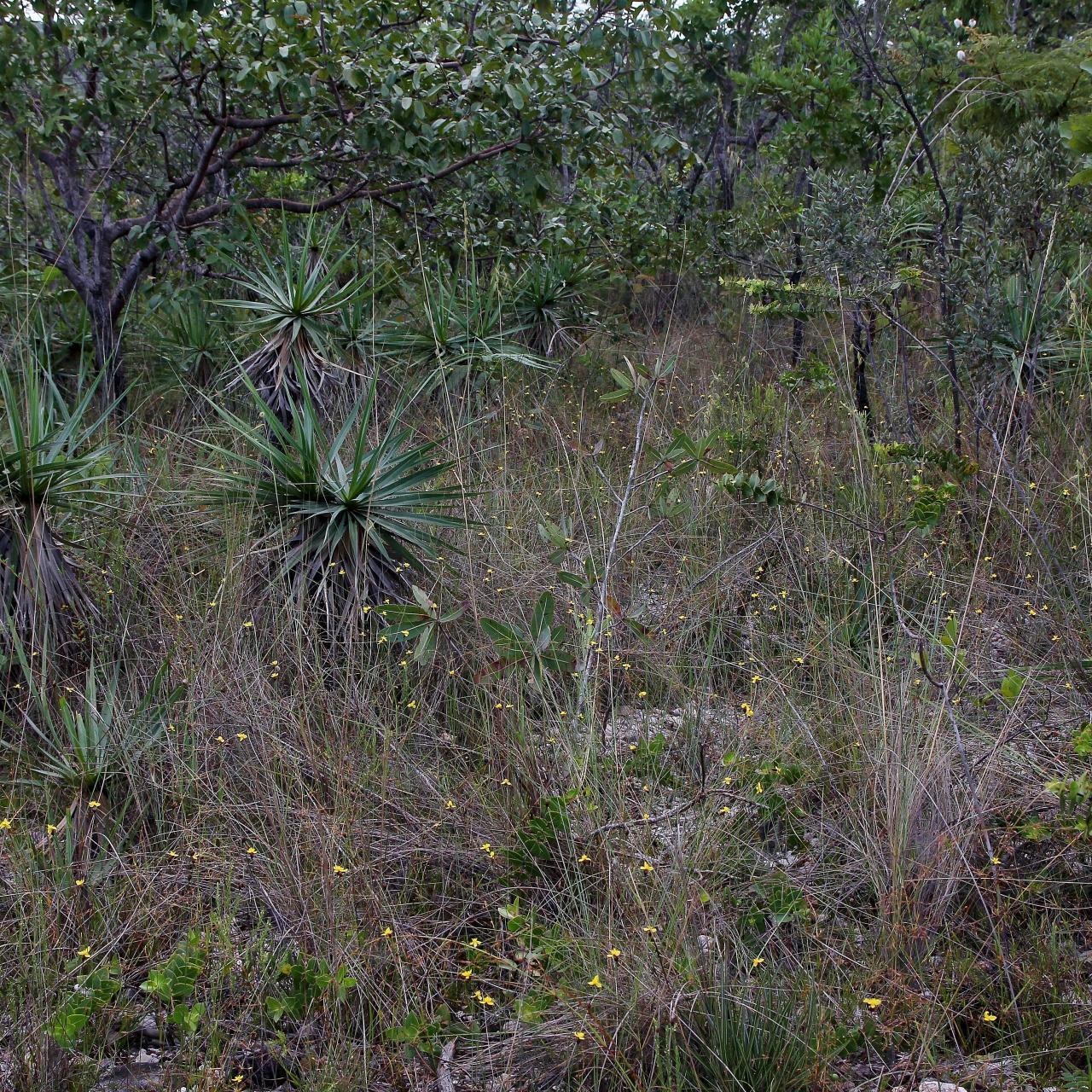 Image of Richard's yelloweyed grass